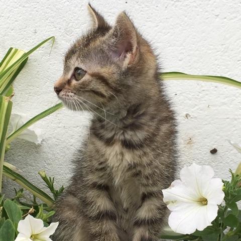 ORIA, chatonne européenne marron tabby, née le 20/05/18 Img_0211