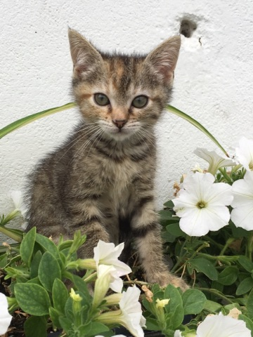 ORIA, chatonne européenne marron tabby, née le 20/05/18 Img_0212