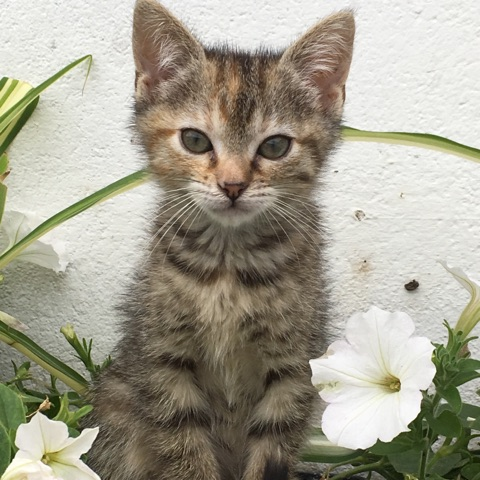 ORIA, chatonne européenne marron tabby, née le 20/05/18 Img_0213