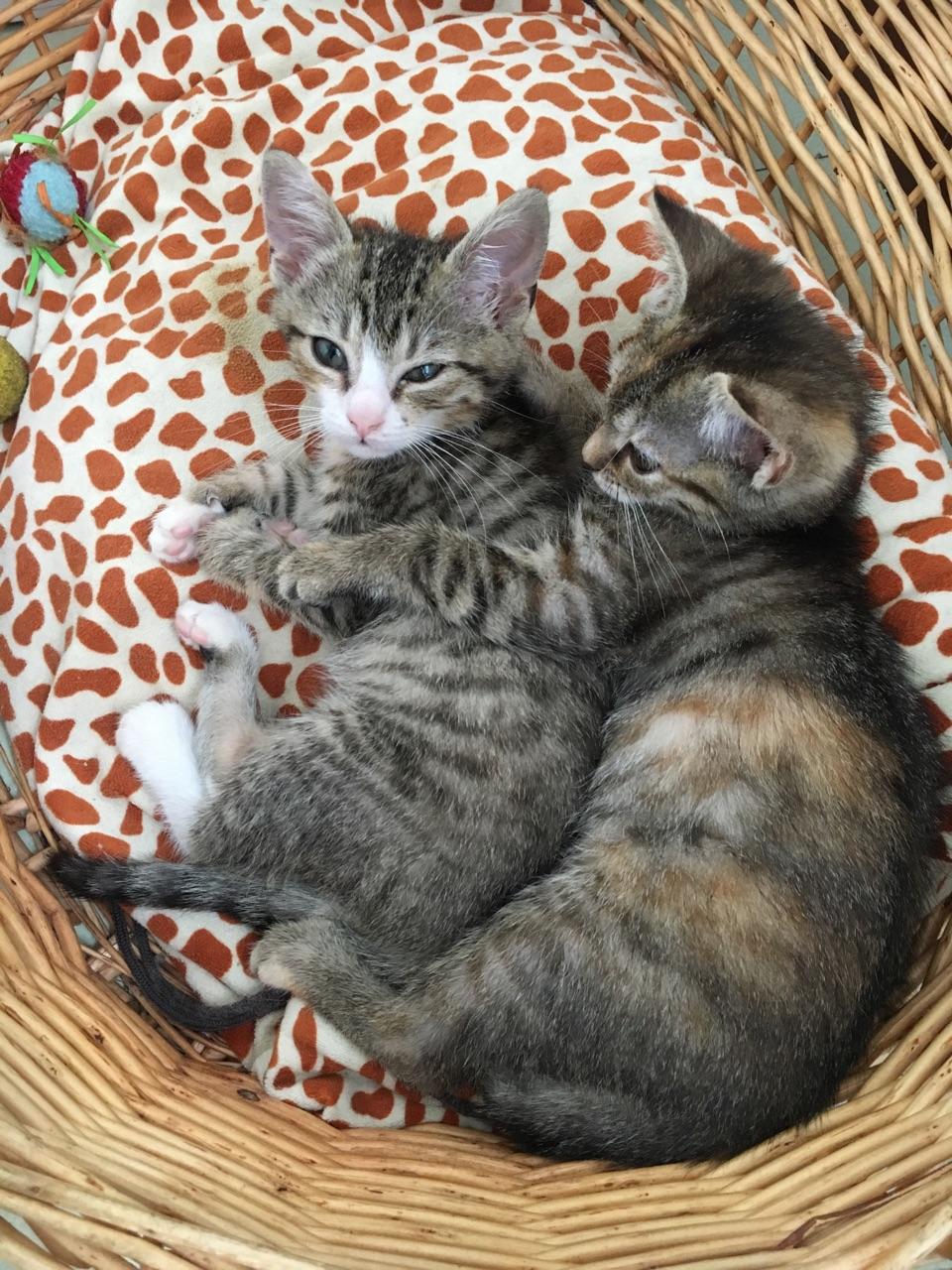 ORIA, chatonne européenne marron tabby, née le 20/05/18 Img_0214