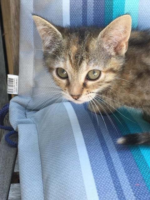 ORIA, chatonne européenne marron tabby, née le 20/05/18 Img_0314