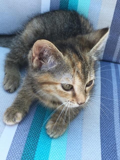 ORIA, chatonne européenne marron tabby, née le 20/05/18 Img_0315