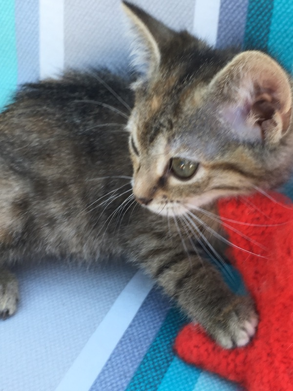ORIA, chatonne européenne marron tabby, née le 20/05/18 Img_0316