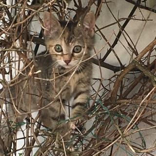 ORIA, chatonne européenne marron tabby, née le 20/05/18 Img_0410