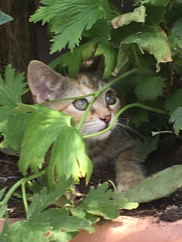 ORIA, chatonne européenne marron tabby, née le 20/05/18 Img_0510