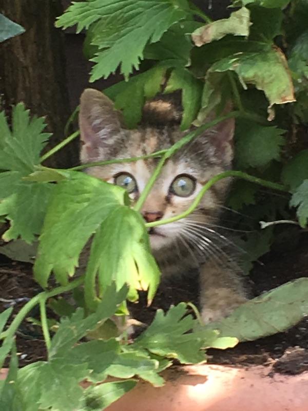 ORIA, chatonne européenne marron tabby, née le 20/05/18 Img_0511