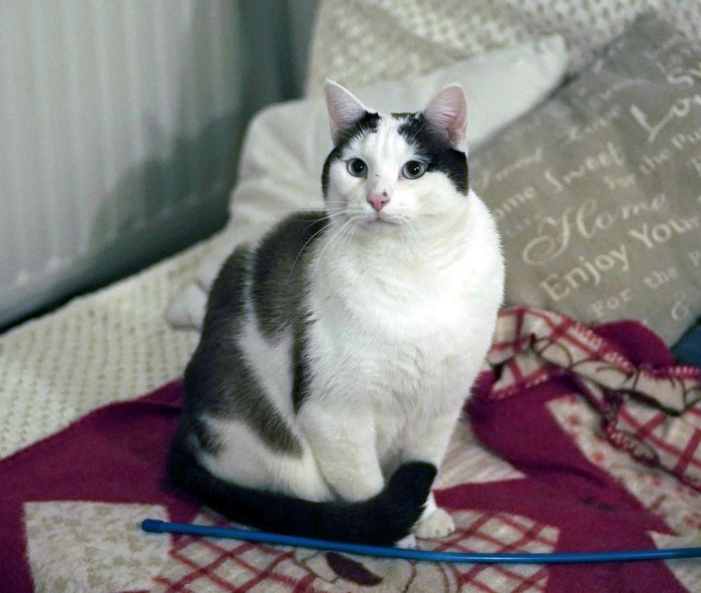 INVICTUS, chat européen marron&blanc, né en 2013, en FA longue durée Invict10