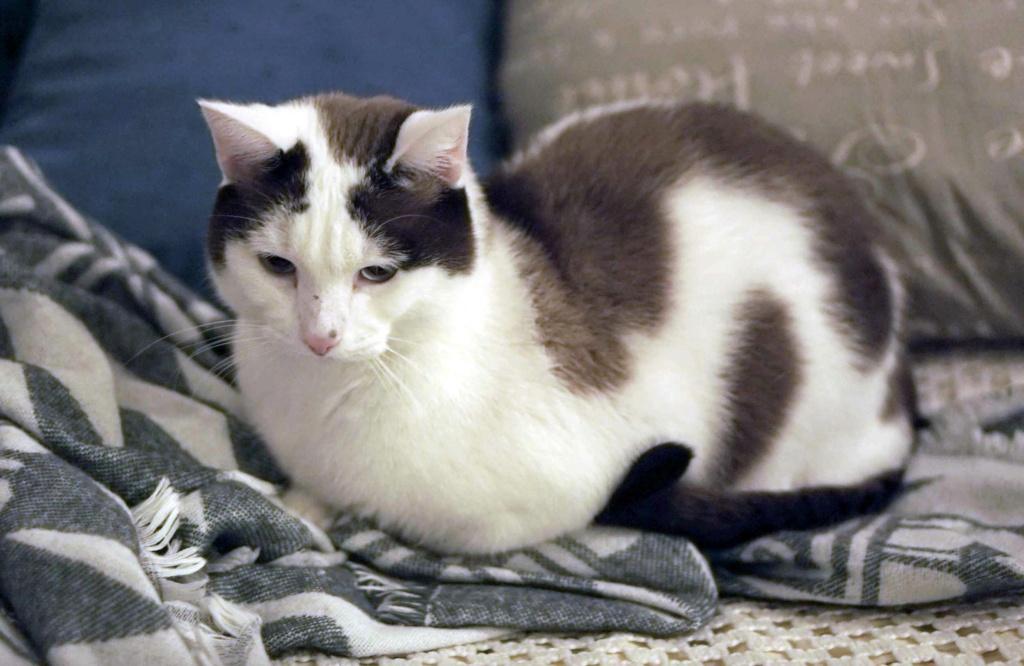 INVICTUS, chat européen marron&blanc, né en 2013, en FA longue durée Invict11