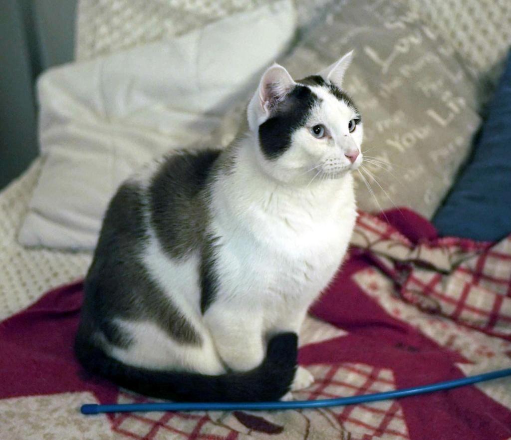 INVICTUS, chat européen marron&blanc, né en 2013, en FA longue durée Invict12