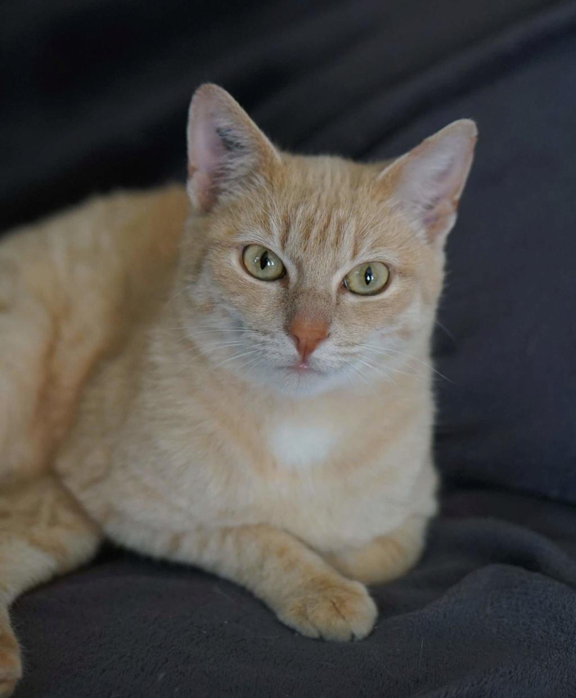 JOALINE, chatte européenne roux tabby, née le 28/08/14 Joalin14