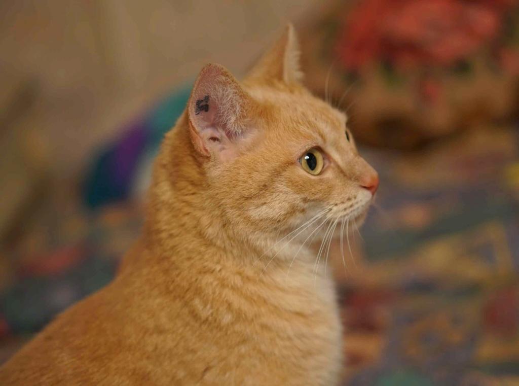 JOALINE, chatte européenne roux tabby, née le 28/08/14 Joalin27