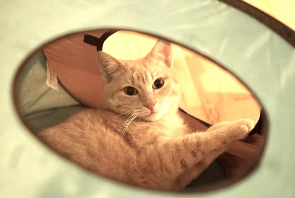 JOALINE, chatte européenne roux tabby, née le 28/08/14 Joalin33