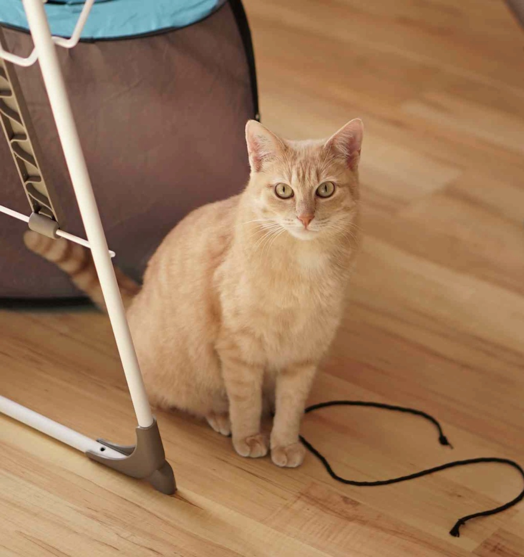 JOALINE, chatte européenne roux tabby, née le 28/08/14 Joalin34