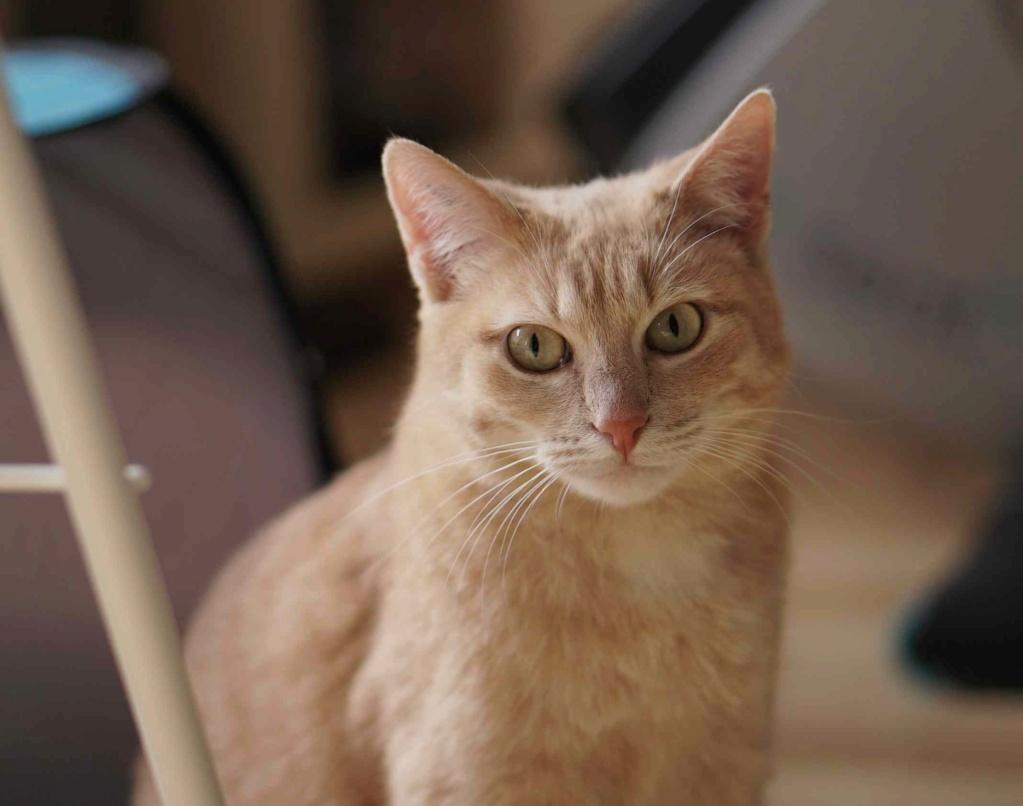 JOALINE, chatte européenne roux tabby, née le 28/08/14 Joalin36