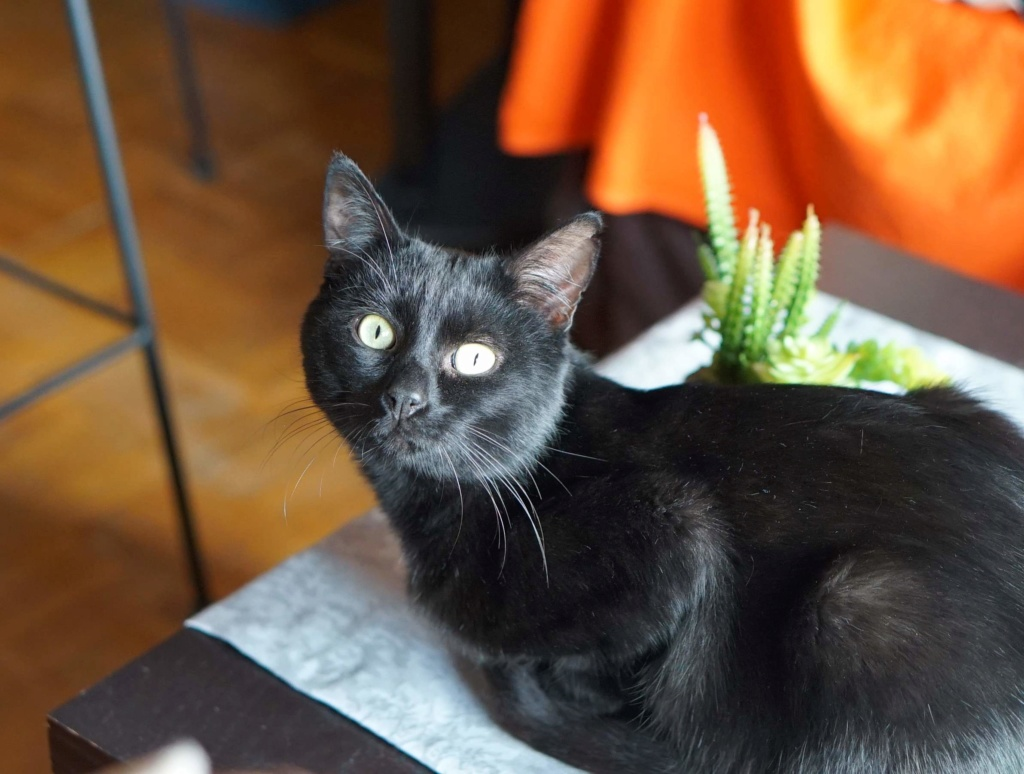 JUNGLE, mâle, noir, yeux verts, type européen, né le 9 Août 2014 Jungle10