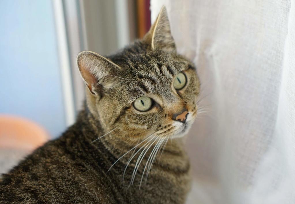 Léto, gentil chat mâle type européen, tigré, né en juin 2015 Leto_110