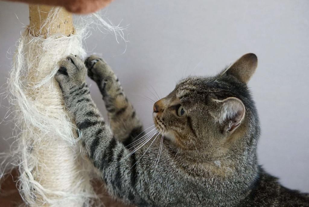 Léto, gentil chat mâle type européen, tigré, né en juin 2015 Leto_210