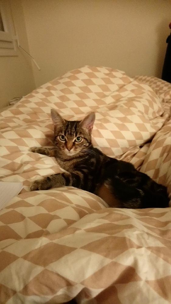 OUEGA, chatonne européenne marron tabby, née le 29/05/18 Mms_im11
