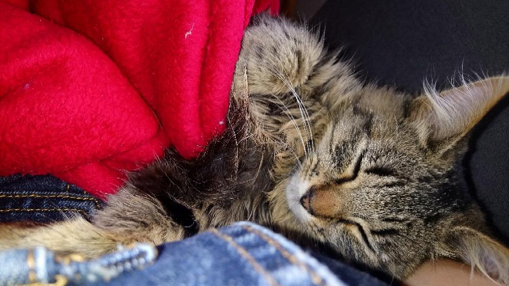 nika - NIKA, chatonne européenne tigré, poils mi-longs, née le 27/04/17 Mms_im13