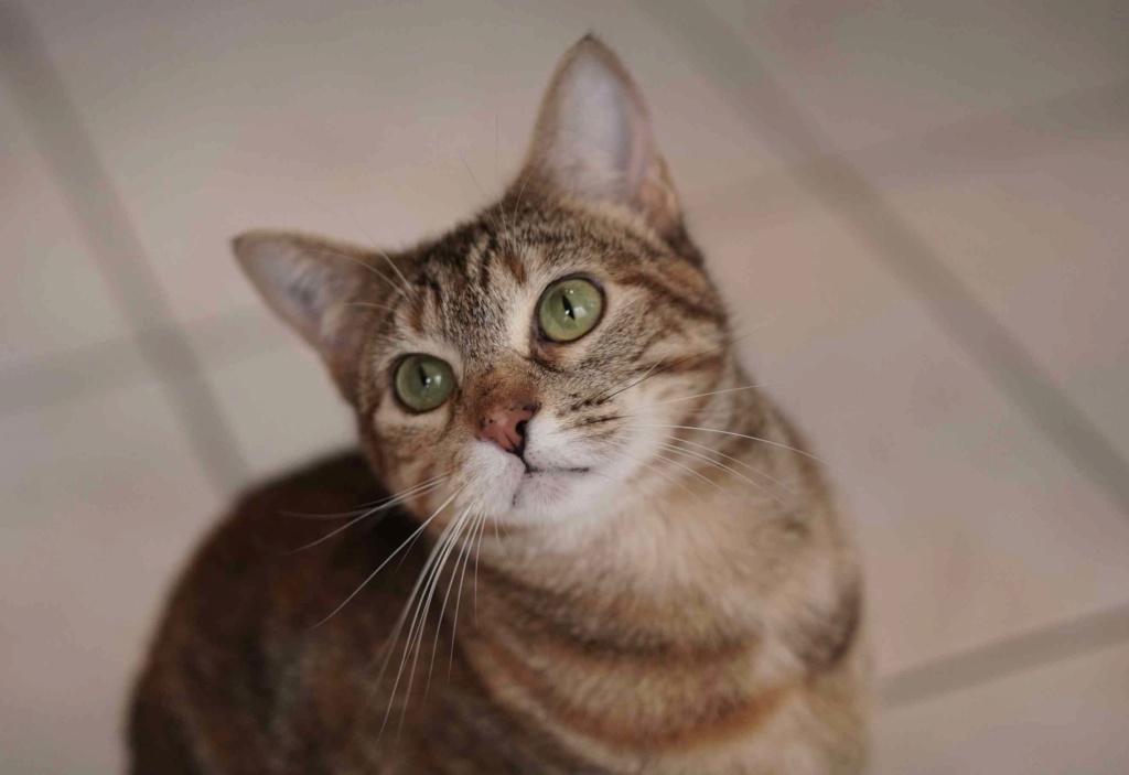 muscari - Muscari, femelle, marron tabby+roux née en octobre 2016 Muscar11