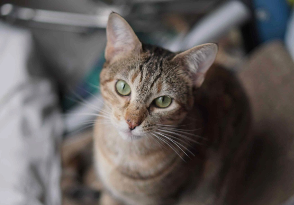 muscari - Muscari, femelle, marron tabby+roux née en octobre 2016 Muscar14