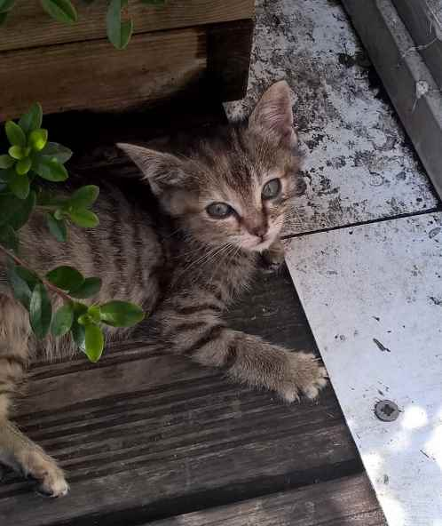 ORIA, chatonne européenne marron tabby, née le 20/05/18 Oana_211