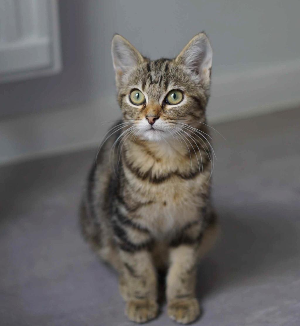 OLIX, chaton européen marron tabby, né le 29/05/18 Olix_111