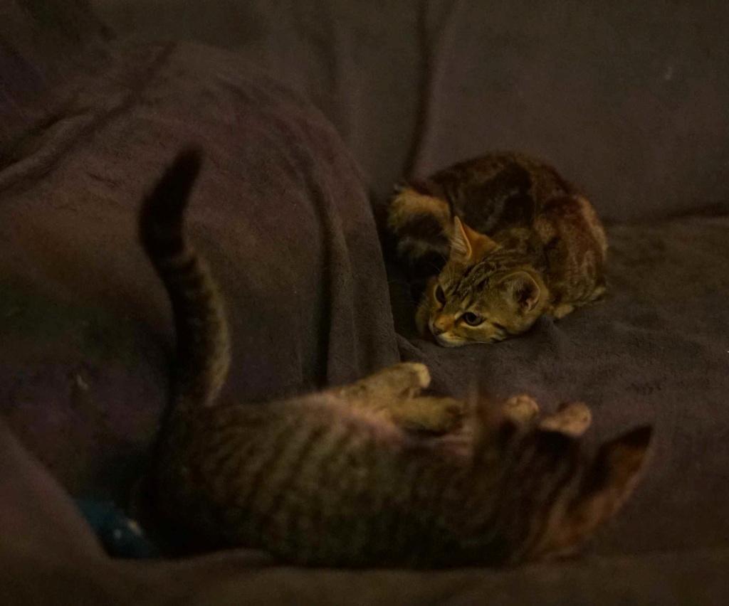 OLIX, chaton européen marron tabby, né le 29/05/18 Olix_113