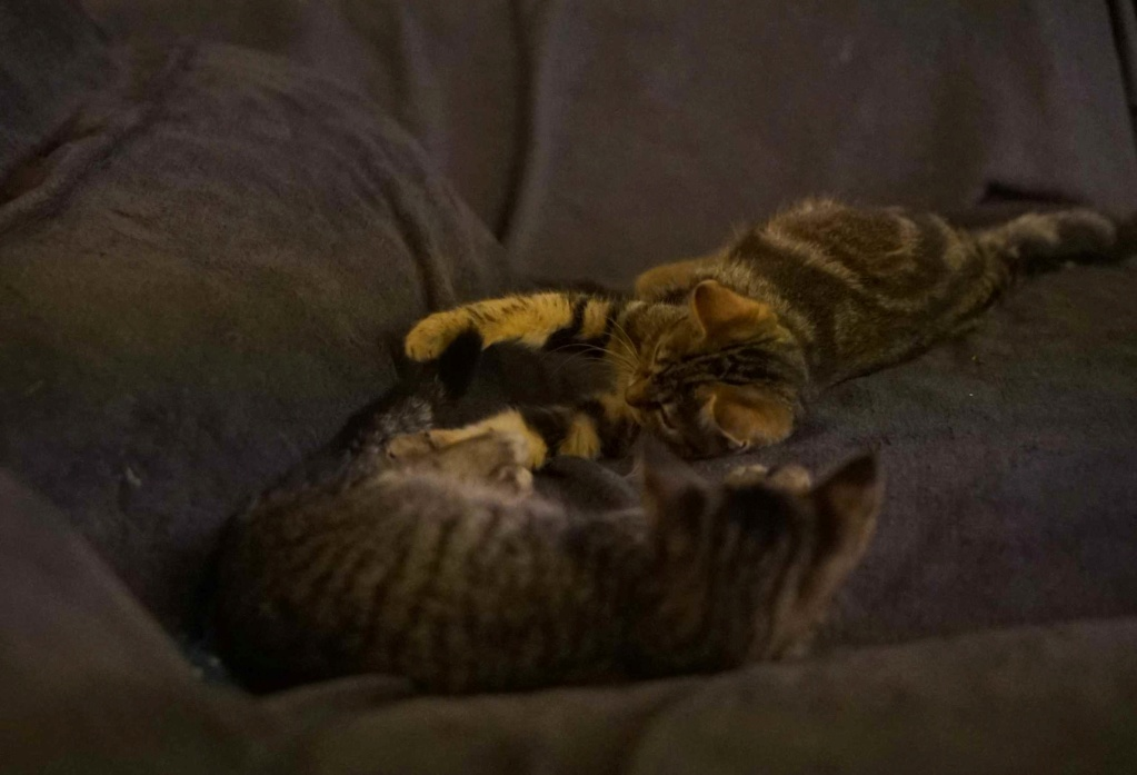 OLIX, chaton européen marron tabby, né le 29/05/18 Olix_114