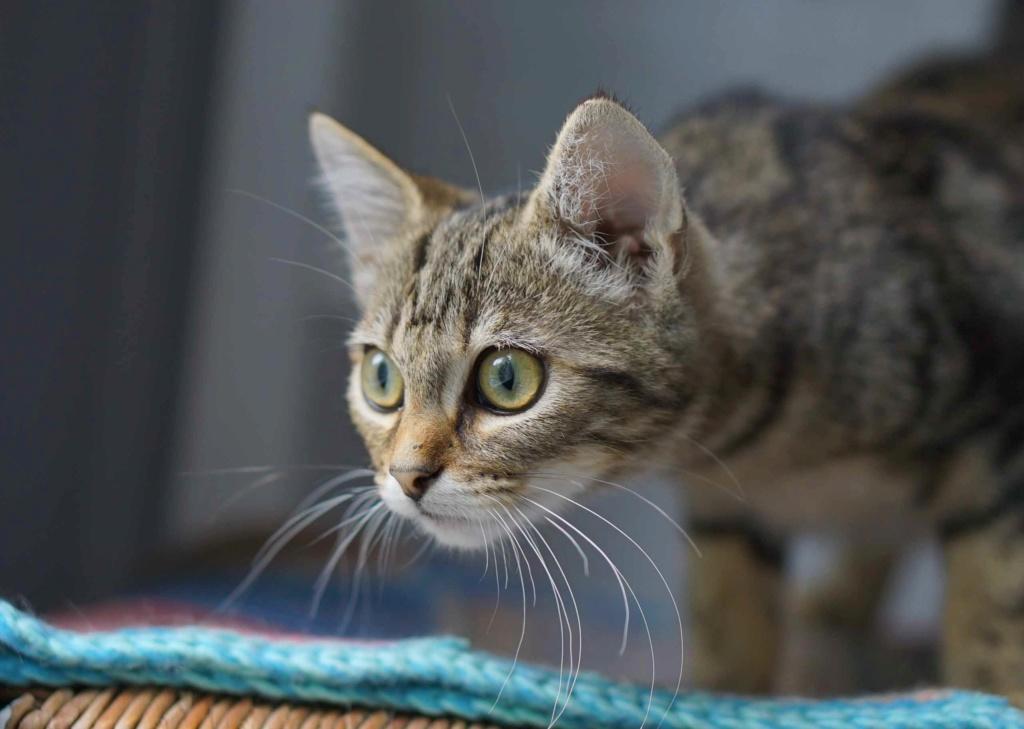 OLIX, chaton européen marron tabby, né le 29/05/18 Olix_210