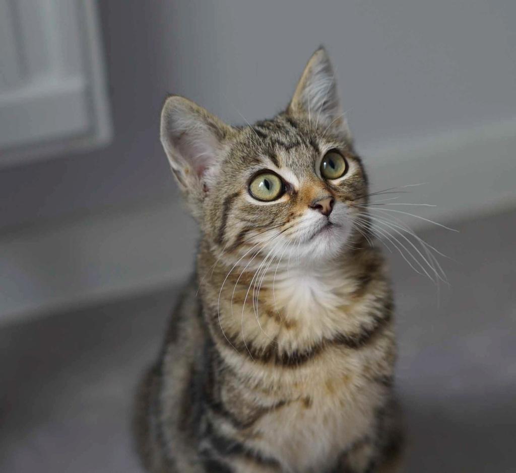 OLIX, chaton européen marron tabby, né le 29/05/18 Olix_310