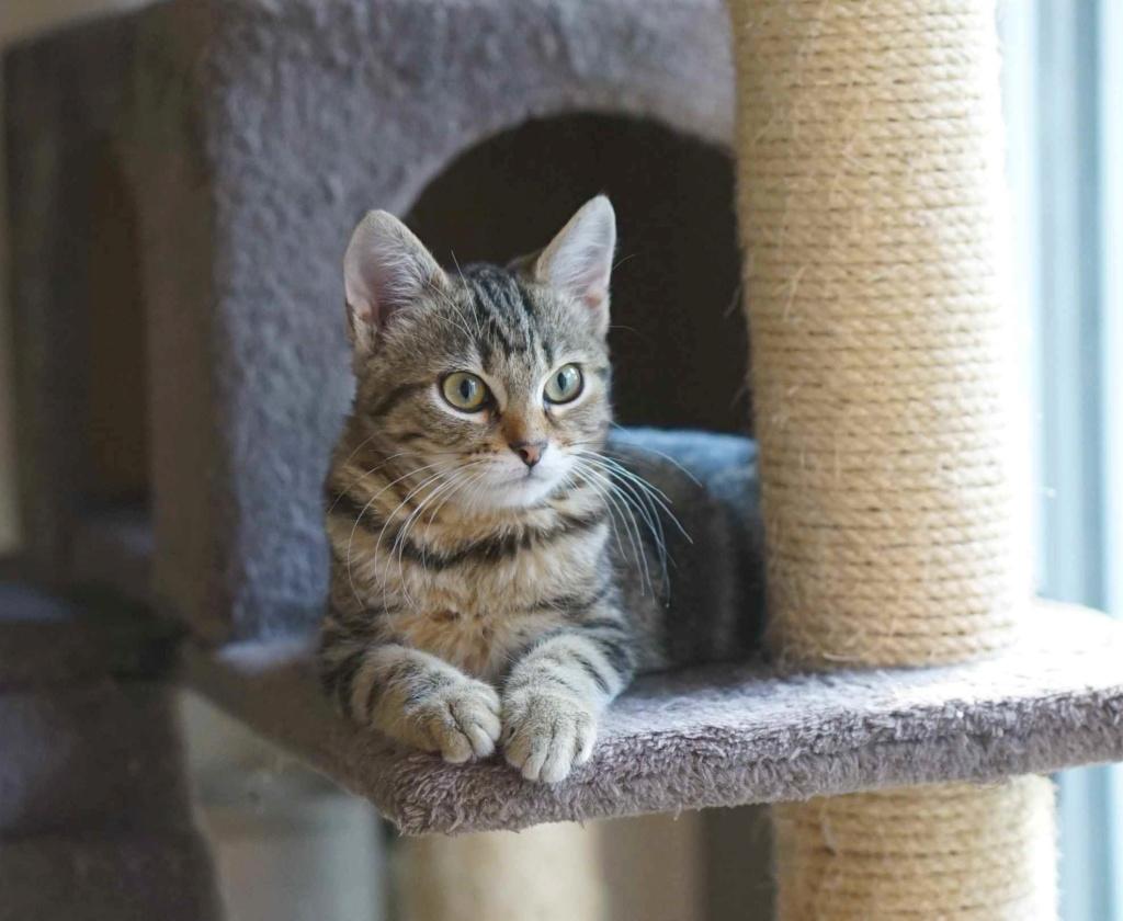 OLIX, chaton européen marron tabby, né le 29/05/18 Olix_410