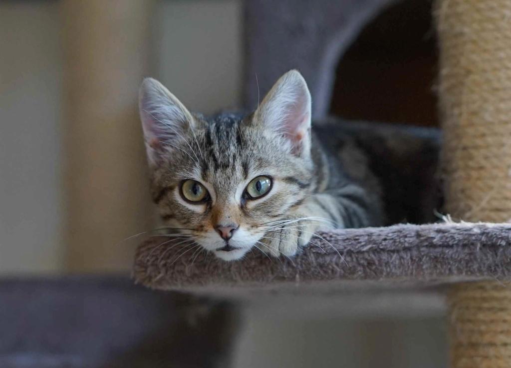 OLIX, chaton européen marron tabby, né le 29/05/18 Olix_510