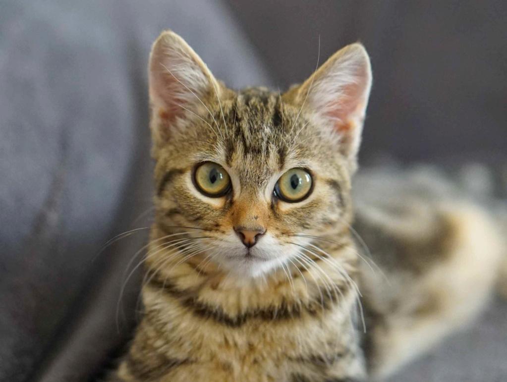 OLIX, chaton européen marron tabby, né le 29/05/18 Olix_610