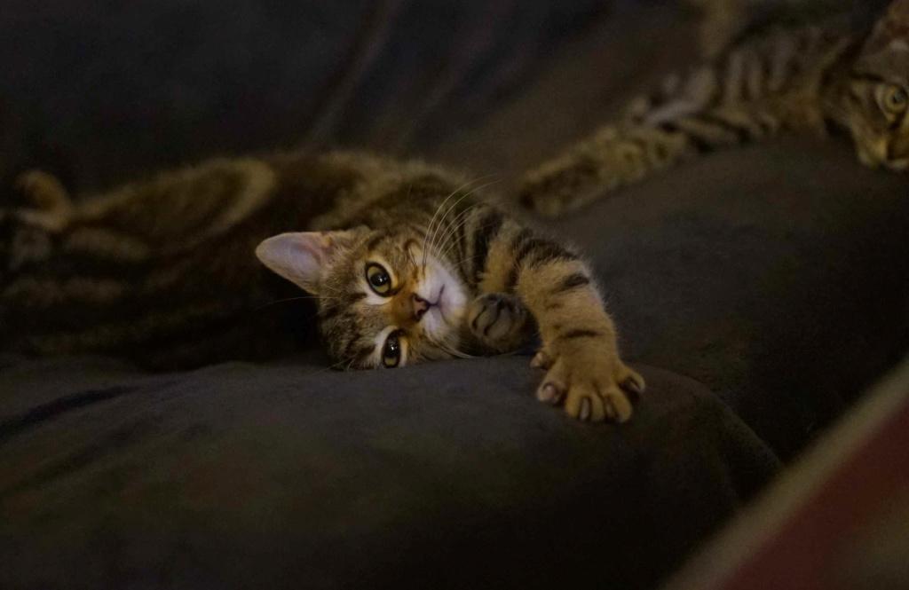 OLIX, chaton européen marron tabby, né le 29/05/18 Olix_710