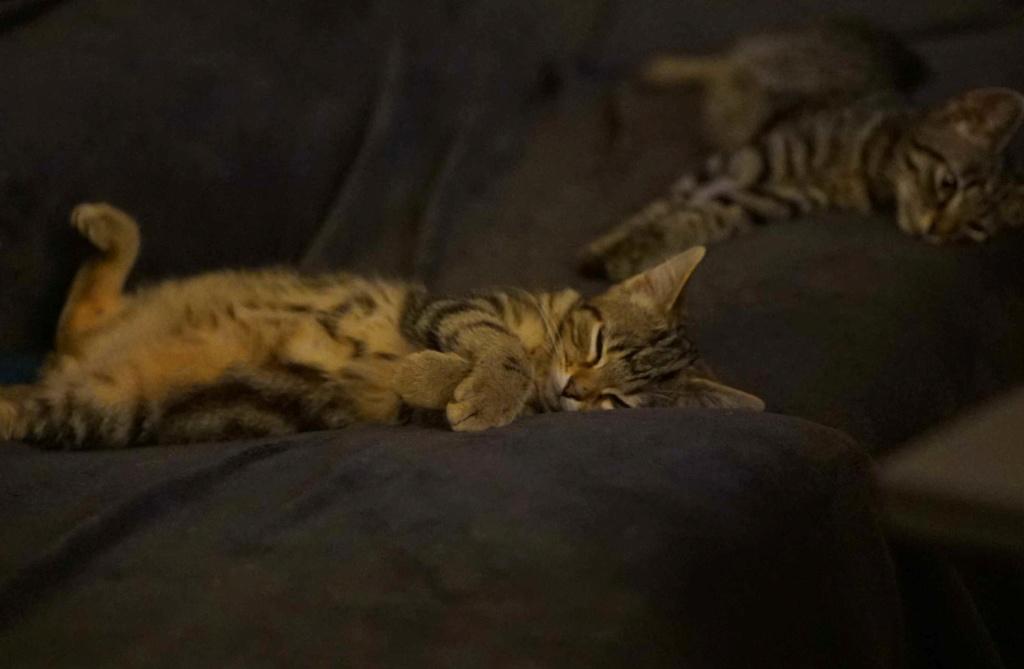 OLIX, chaton européen marron tabby, né le 29/05/18 Olix_910