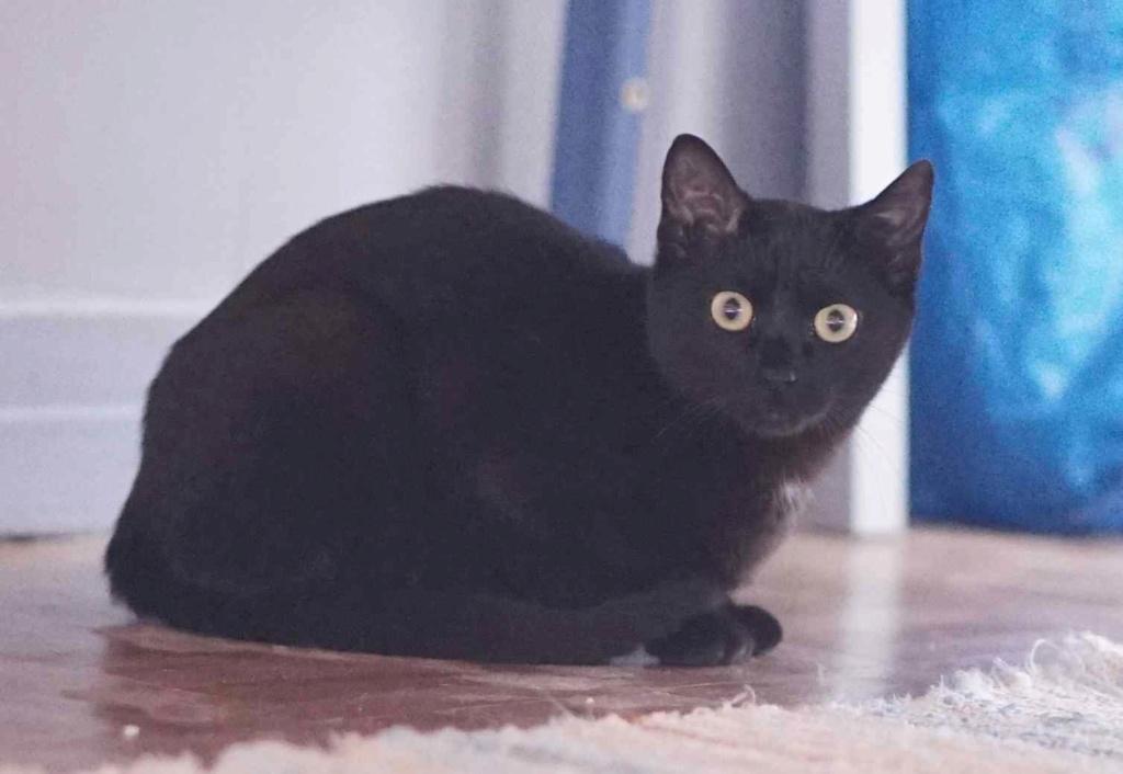 ONYLE, chatte européenne robe noire, née le 01/08/18 Onyle_10