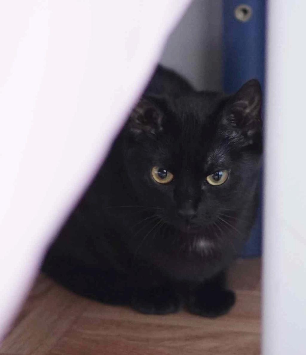 ONYLE, chatte européenne robe noire, née le 01/08/18 Onyle_11