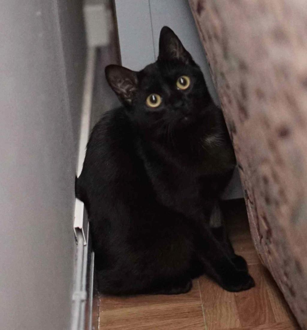 ONYLE, chatte européenne robe noire, née le 01/08/18 Onyle_12