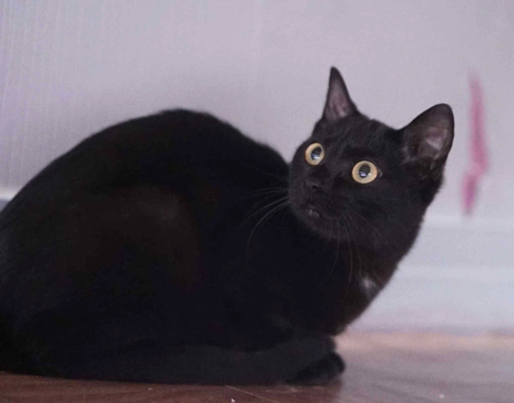 ONYLE, chatte européenne robe noire, née le 01/08/18 Onyle_13