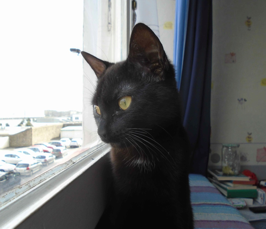 ONYLE, chatte européenne robe noire, née le 01/08/18 Onyle_14