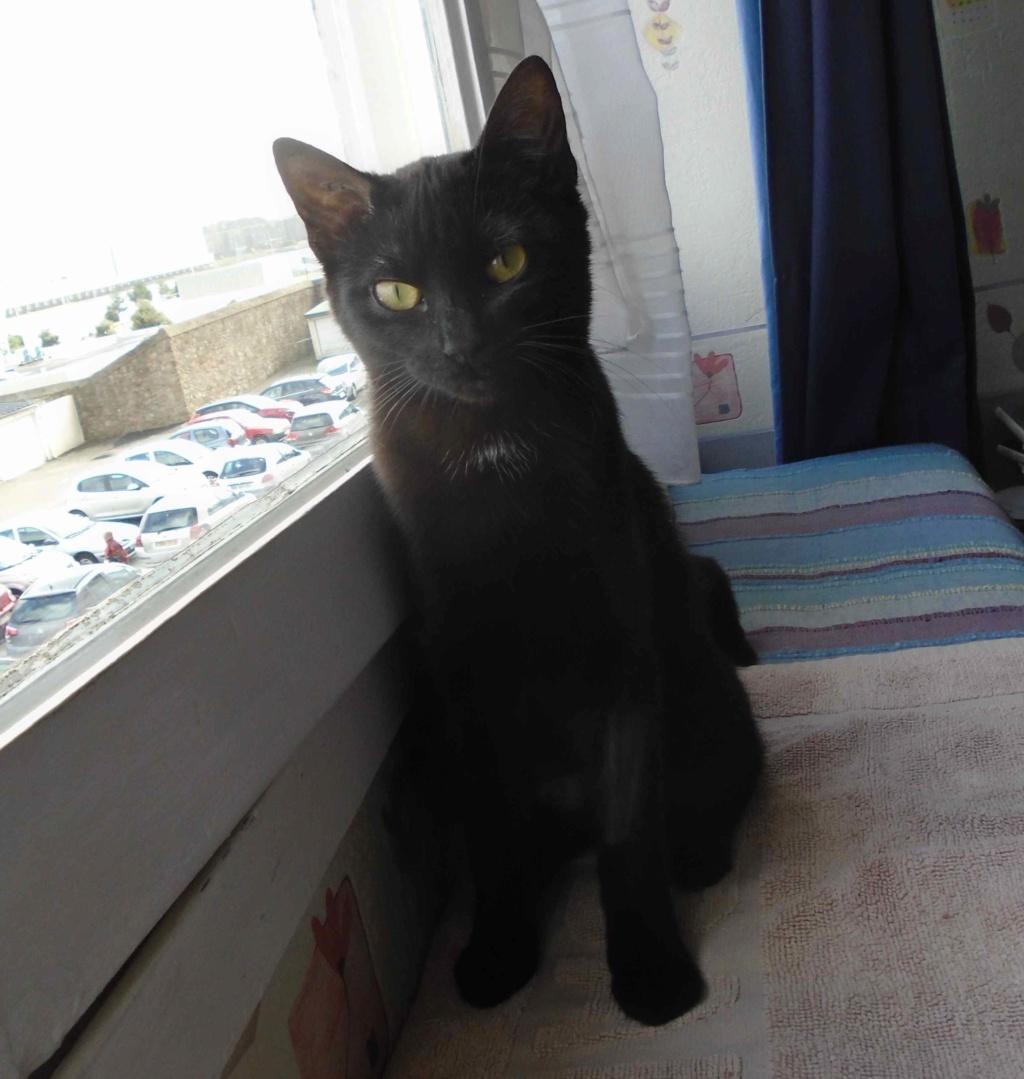 ONYLE, chatte européenne robe noire, née le 01/08/18 Onyle_15