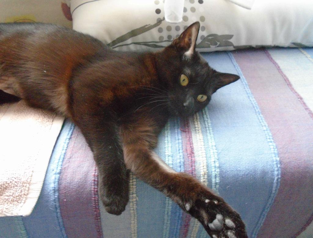 ONYLE, chatte européenne robe noire, née le 01/08/18 Onyle_16