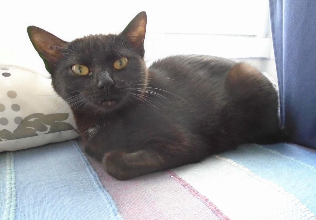 ONYLE, chatte européenne robe noire, née le 01/08/18 Onyle_17