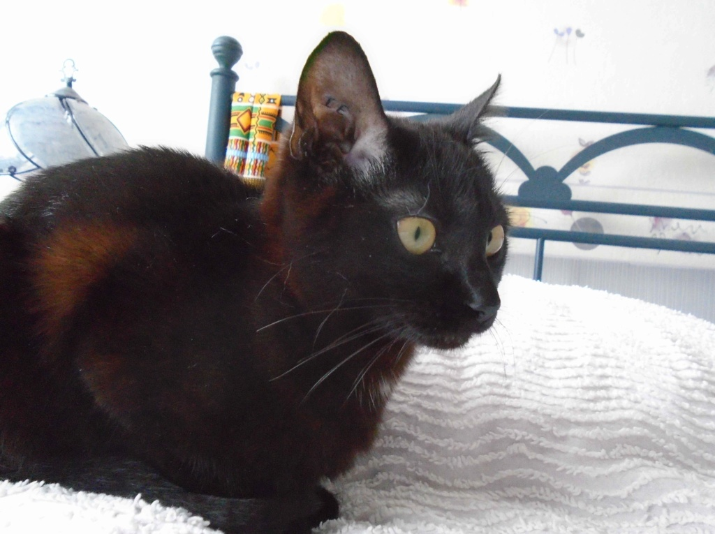 ONYLE, chatte européenne robe noire, née le 01/08/18 Onyle_18