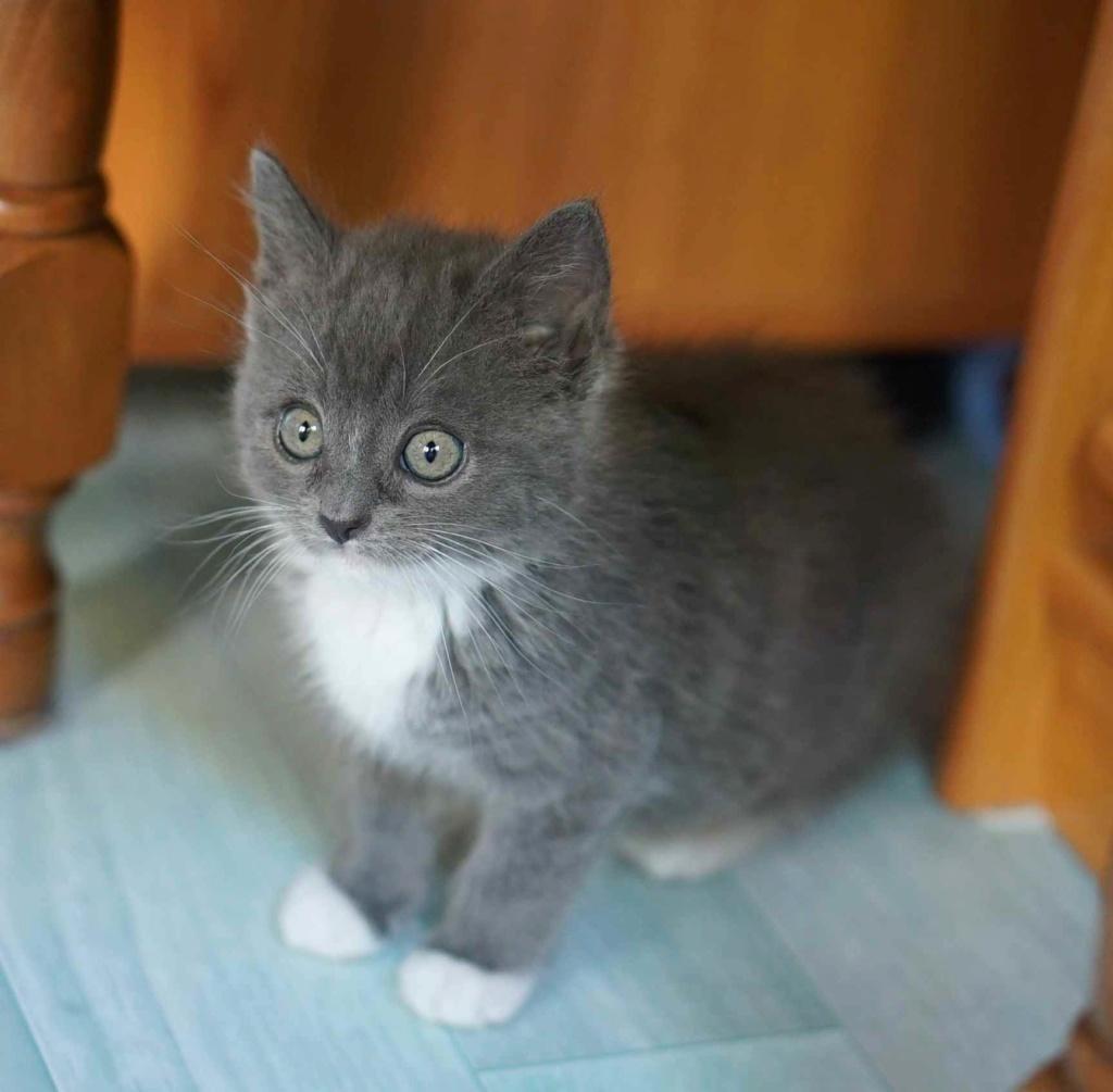 ORINE, chatonne européenne grise&blanche, née le 15/05/18 Orine_15