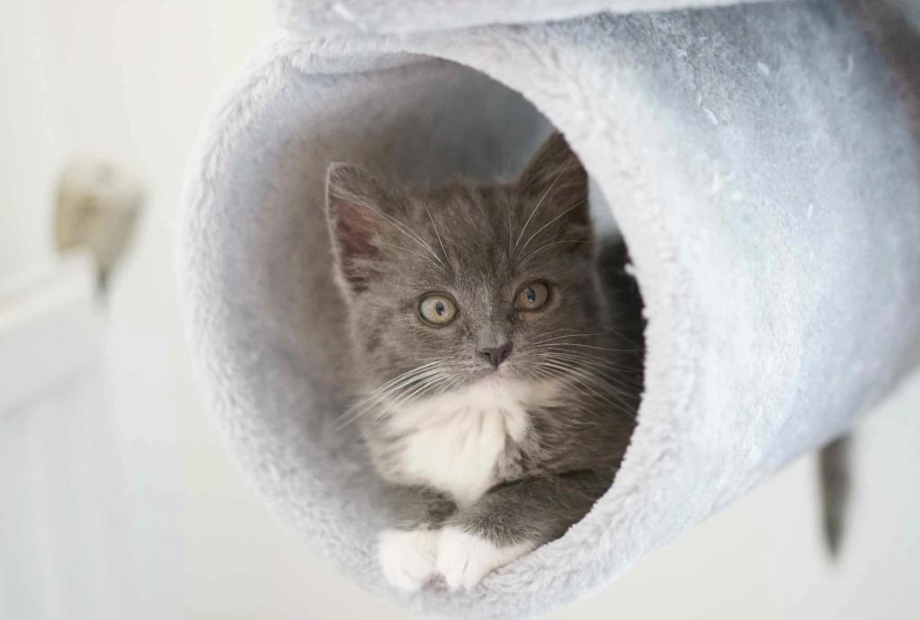 ORINE, chatonne européenne grise&blanche, née le 15/05/18 Orine_16