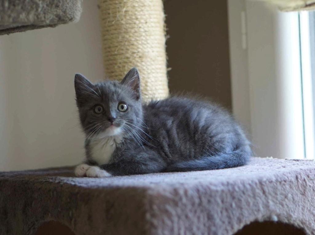 ORINE, chatonne européenne grise&blanche, née le 15/05/18 Orine_17