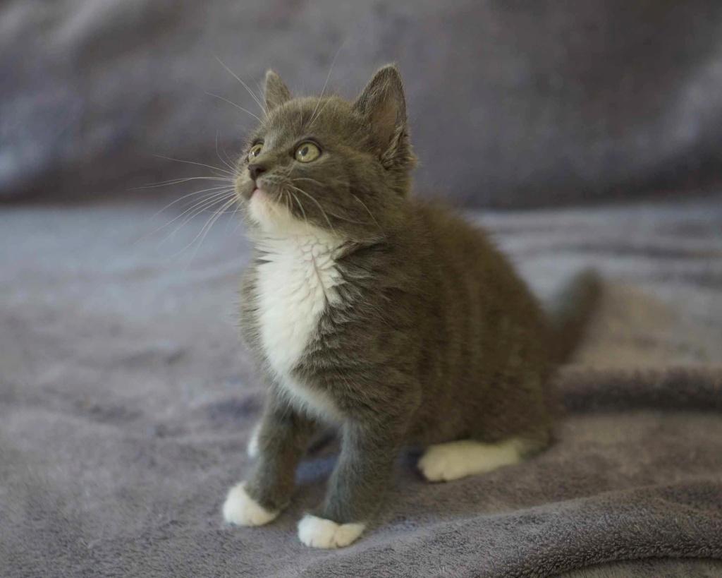 ORINE, chatonne européenne grise&blanche, née le 15/05/18 Orine_18