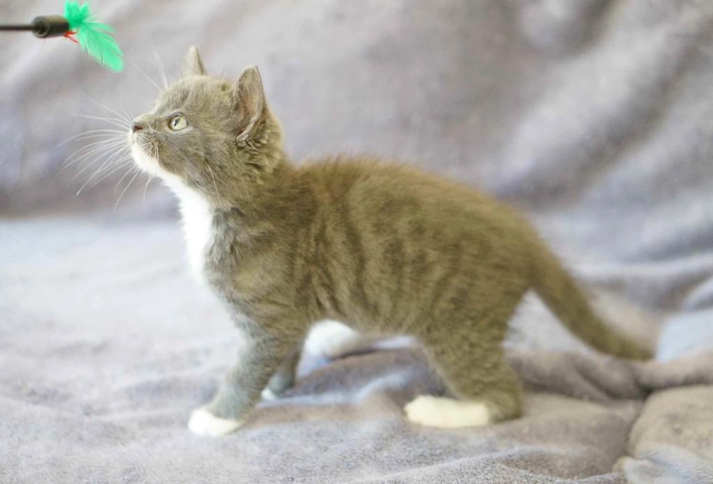 ORINE, chatonne européenne grise&blanche, née le 15/05/18 Orine_19
